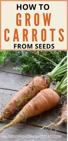 You can easily grow sweet crunchy carrots in your vegetable garden using these tips.  How to Plant nd grow carrots from seed to harvest.  Everything you need to know.