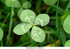 four-leaf-clover-a5xk1c.jpg (640×448)
