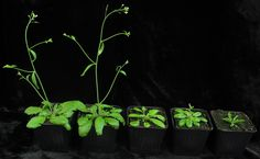 thale cress arabidopsis thaliana photo mpi developmental