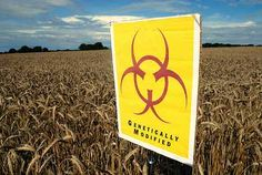 Scientists Say New Genetically Modified Wheat Silences DNA Sequences In The Body, Can Cause Fatalities In Children / Wholesome Foodie <3