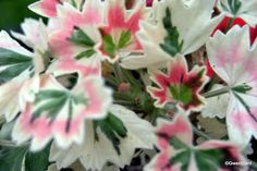 PERFECT PELARGONIUMS: Wordless Wednesday - 20/07/11 Stan Rawlings - Mini...