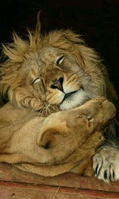 """You are more likely to hear a lion snore than roar."" Kevin Richardson, The Lion Whisperer. Animals And Pets, Funny Animals, Cute Animals, Exotic Animals, Baby Animals, Beautiful Cats, Animals Beautiful, Gato Grande, Lion And Lioness"