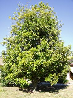 Macadamia nut tree, produces nuts that aren't ripe till they fall.  We have this tree in our garden.  The Garden Weasel Gatherer Pro is what we need!  #gardenweasel1