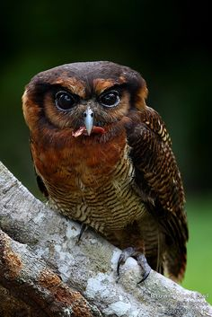 ~~ Brown wood owl ~~ how gorgeous!