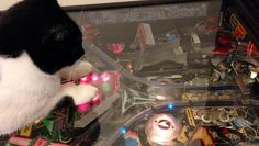 Pinball Cat http://www.dailymotion.com/video/x2qcsip_pinball-cat_animals