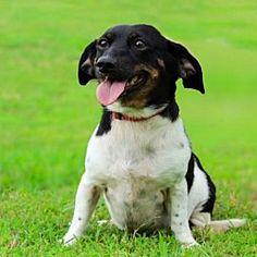 Dachshund Adoption, Pet Adoption, Longview Texas, Foster To Adopt, Animal Welfare, Oreo, Safari, Dog Cat, Babies