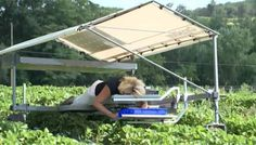 Farming: The picking assistant eliminates much of the back-breaking effort in strawberry picking. (Source: WGAL/CNN)