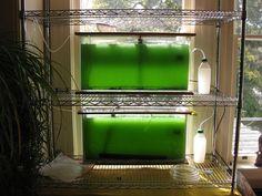 How to Grow Spirulina at Home