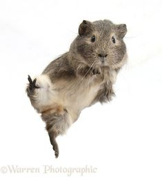Guinea pig 'leaping'