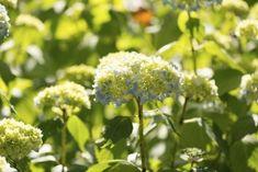 Growing Smooth Hydrangea – Tips On Planting Wild Hydrangeas