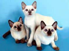 Pictures of Siamese Cats  Would love to own a Siamese cat some day.