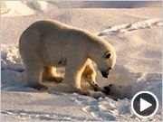 """Click through for a """"cute overload"""" video of polar bear mama and cubs from Frozen Planet"""