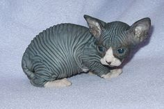 I'm (REALLY) a cat person, but it had never dawned on me that I hadn't seen a hairless kitten. Lots of pics of them when they are adults, but none when they are younger. Aw, that is just disturbingly adorable.