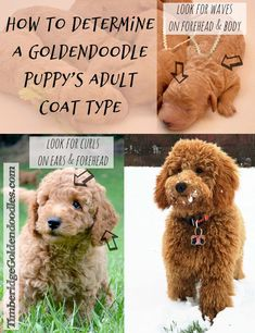 Goldendoodle puppy to adult   Grooming Puppy Coat   Dog Grooming Salon   Dog Grooming Necessary. #weeklyfluff #Doodle Doodles