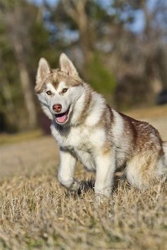Gorgeous Husky