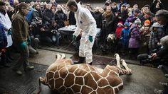 Partij voor de Dieren Amsterdam wil opheldering van Artis over euthanasiebeleid