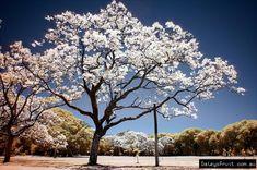 White Jacaranda ( photo compliments of Caylie Jeffery) www.daleysfruit.com.au