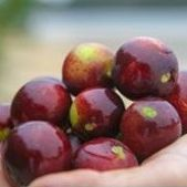 Fresh Fruit Portal reports on Amazon Origins and our camu camu supplement Amacari - check out camupure.com today for more information