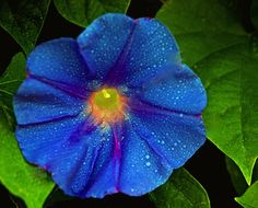 Morning Glory,  my favorite flower.