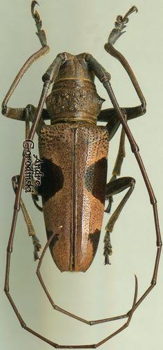 Longhorn Beetle, Beetles, Moth, Bugs, Illustration, Animals, Wild Life, Spinning, Animales
