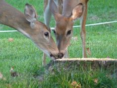Tapawingo where the Deer play for free