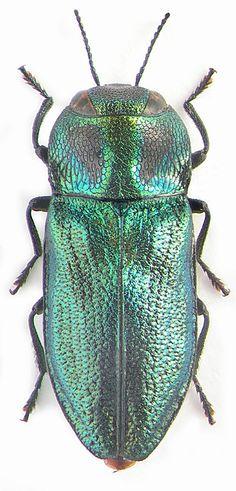 Buprestidae: Anthaxia podolica podolica