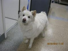KOAH is an adoptable Samoyed Dog in Henderson, NV.  ...
