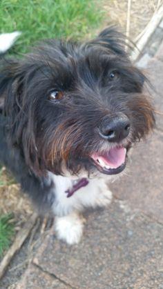 Phoebe terrier x (schnauzer?) | Pawshake