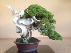 Indoor Bonsai Tree, Bonsai Art, Bonsai Plants, Bonsai Garden, Bonsai Trees, Juniper Bonsai, Big Tree, Tree Designs, Tropical Flowers