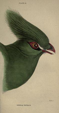 v. 11: Ornithology v. 11 (Birds of Western Africa, Part 1; Memoir Bruce) - The naturalist's library. - Biodiversity Heritage Library