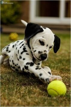 I need a dalmation in my life one day