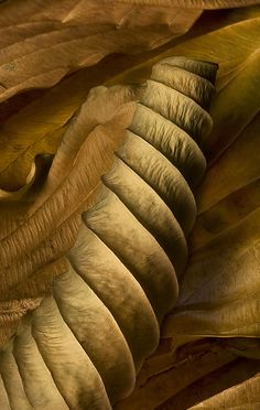 luxury cars - Hosta Leaves 9 by Ralph Gabriner (Color Photograph) Artful Home Organic Forms, Natural Forms, Natural Texture, Natural Structures, Natural Shapes, Patterns In Nature, Textures Patterns, Art Forms In Nature, Color Patterns