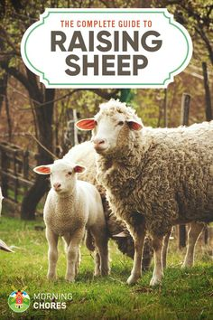 Are you considering raising sheep for meat, wool, or even money? Make sure to read this complete guide on how to raise sheep at homestead. Raising Farm Animals, Raising Goats, Raising Chickens, Baby Sheep, Sheep Farm, Sheep And Lamb, Pet Sheep, Agriculture, Goat Care