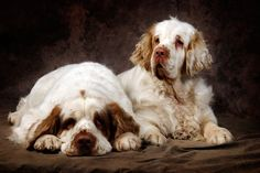 Clumber Spaniel Is the heaviest of Spaniel breeds, and quite rare if you compare them with the American or English Cocker. This is a hunting dog. Their disadvantage being constant shedding and snoring. Clumber Spaniel, Spaniel Dog, Springer Spaniel, Spaniels, Spaniel Breeds, Lazy Dog Breeds, Top 10 Dog Breeds, Dog Love, Puppy Love