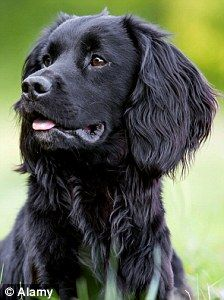 I envy my brother-in-law his bond with his labrador, left, and cocker spaniel, right (stock photos) Black Cocker Spaniel, Cocker Spaniel Puppies, English Cocker Spaniel, Spaniel Dog, Springer Spaniel, Spaniel Breeds, Dog Breeds, Working Spaniel, Working Cocker
