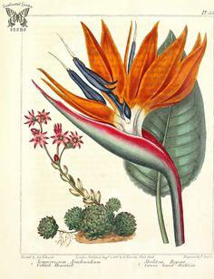 Free vintage botanical art: Plant portraits from Primula to Vitex Illustration Botanique, Illustration Blume, Nature Illustration, Floral Illustrations, Botanical Flowers, Botanical Prints, Botanical Posters, Nature Prints, Art Prints