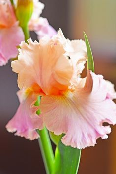 Iris ~An exquisite color