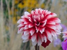 """https://flic.kr/p/Abd9UU   Another starring performance ... :-)      New to 2015 and, naturally, our garden as well, is the Dahlia debutante, 'Burlesque."""" And she's rapidly becoming one of our favourite dahlias too. Couldn't resit posting another shot of our star performer ... :-))"""