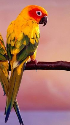 Jenday Conure - from Brazil