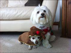 Cyder (Coton de tulear) and Kaylee (Chihuahua) Christmas Eve 2012