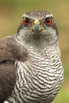 Northern Goshawk - As it matures, the Northern Goshawk's eyes darken and change color. After the second year they are red. - #Birds #Goshawks