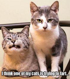 cat - trying to fart - animal meme