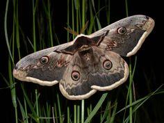 Papillon Le grand Paon de Nuit