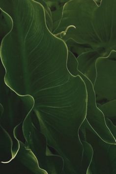 verde---➽viridi➽πράσινος➽green ➽verde➽grün➽綠➽أخضر ➽зеленый Elephant Ear Plant, Elephant Ears, Go Green, Green Colors, Colours, Lush Green, Green Leaves, Plant Leaves, World Of Color