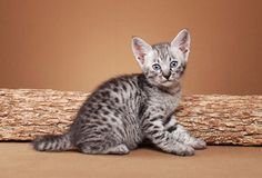 And your for $12000!  Savannah Cats are awesome!
