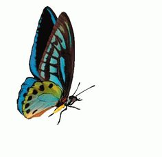 With Tenor, maker of GIF Keyboard, add popular Butterfly animated GIFs to your conversations. Share the best GIFs now >>> Cartoon Butterfly, Butterfly Images, Butterfly Wallpaper, Blue Butterfly, Butterfly Quotes, Fruit Cartoon, Cartoon Gifs, Butterflies Flying, Beautiful Butterflies