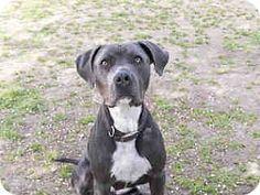 Agoura, CA - American Pit Bull Terrier/Labrador Retriever Mix. Meet Scarlett, a dog for adoption. http://www.adoptapet.com/pet/17902109-agoura-california-american-pit-bull-terrier-mix