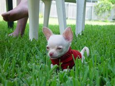 teacup chihuahua in a red sweater Funny Animal Photos, Cute Puppy Pictures, Funny Dog Pictures, Funny Animals, Cute Animals, Animal Funnies, Animal Captions, Animal Pictures, Baby Animals