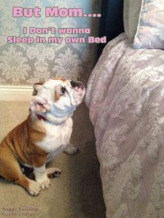 ♥ Baggy Bulldogs ♥ Oh boy, does this look familiar - I call it the wheedle face DC