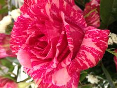 Pink striped rose